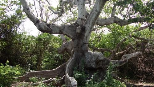 De eeuwenoude Kapokboom in Hofi Pastor.